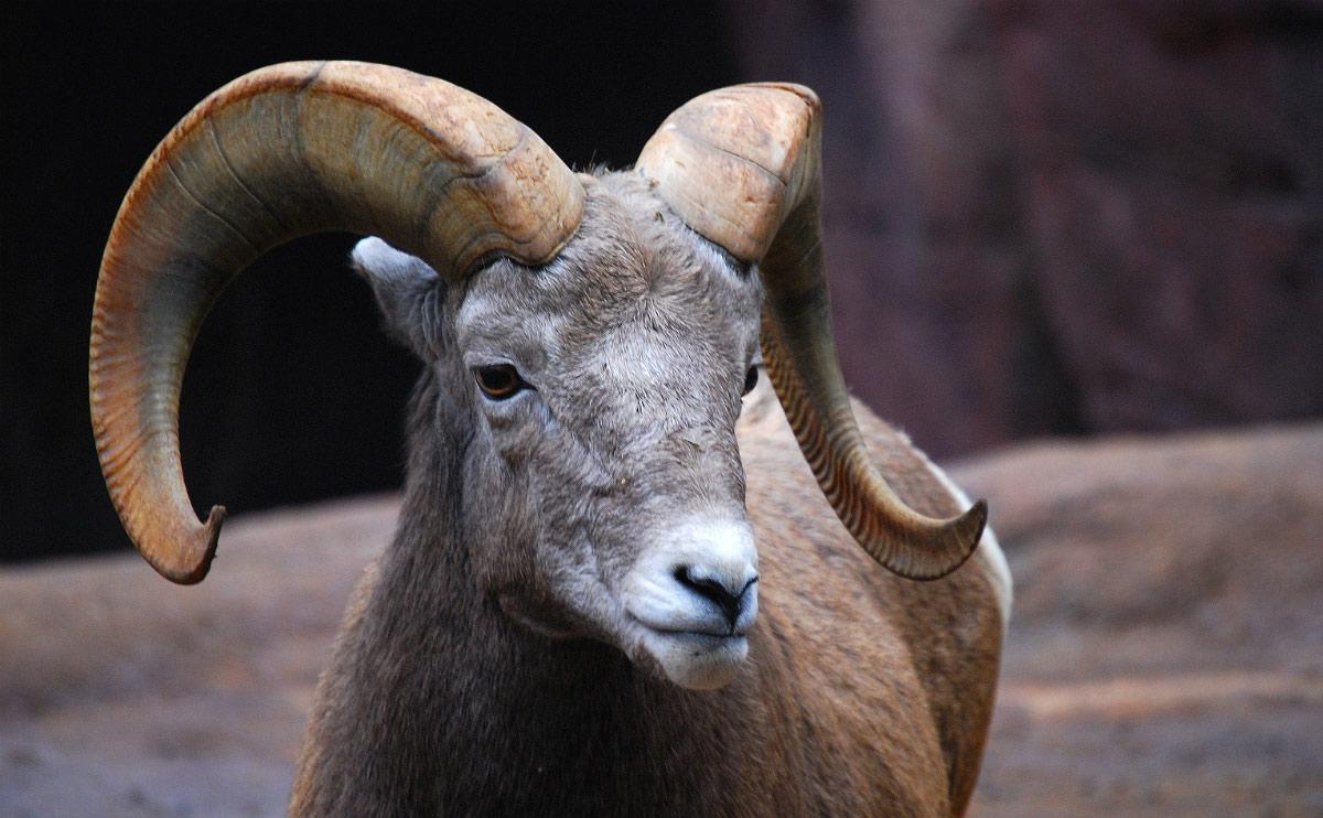 horned