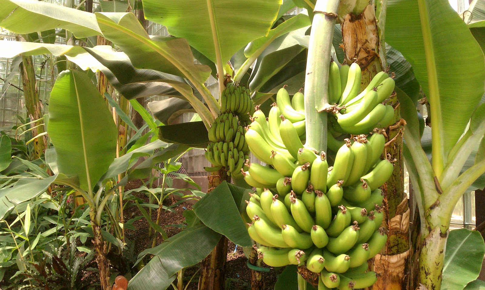 steps to grow banana plants inuofebi