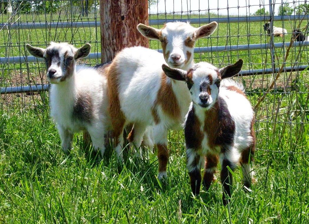 Nigerian Dwarf Goats Information And Breeding