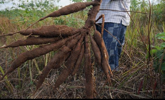 How To Start Cassava Farming And The Cultivating Techniques