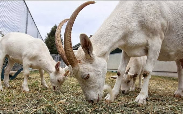 How to Make Decent Income Buying and Selling Goats in Nigeria