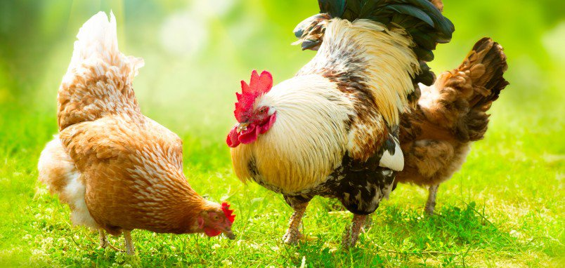 Tips for Growing / Expanding Your Poultry Business