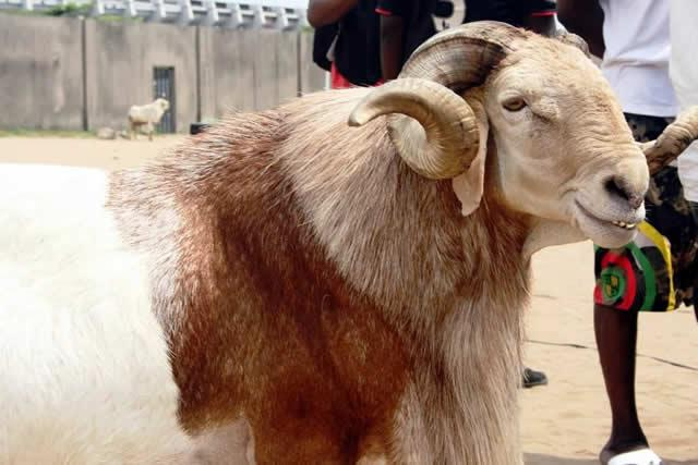 Make Money Selling Rams During Muslim Festivals