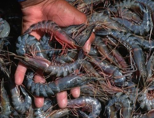 Prawn/ Shrimp Farming