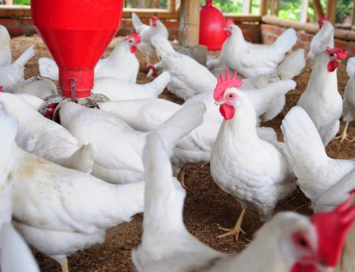 Price Of Chicken Increases By 66% In Asaba And Its Environs