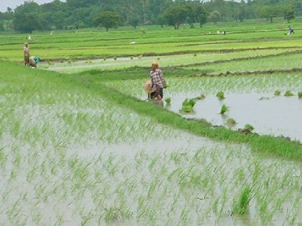 Rice Production: FEC Approves N10bn For Tada-Shonga Irrigation Project In Kwara