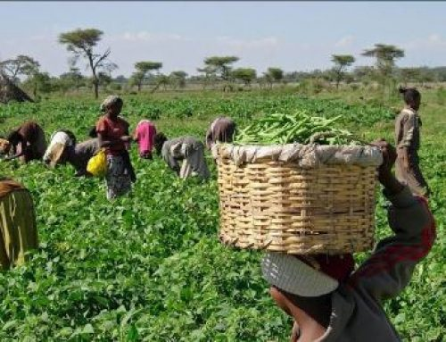 Beans Farmers In Northeast Nigeria Relive Horrors Of 'Wuta Wuta