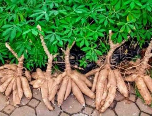 How BASICS Is Improving Nigeria's Cassava Seed Sector