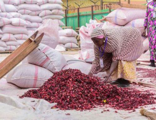 Unlocking The Potentials Of Hibiscus Farming, Exportation