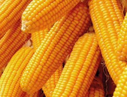 CBN Moves To Ban Maize Importation, Denies Maize Importers Access To Forex