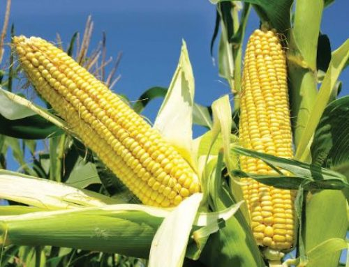 Poultry Farmers Take Delivery Of 262,000 Metric Tonnes Of Imported Maize