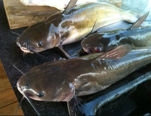 Kwara Takes Lead In Catfish Production, Sells N20m Daily